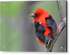 Scarlet Tanager Acrylic Print by Mircea Costina Photography