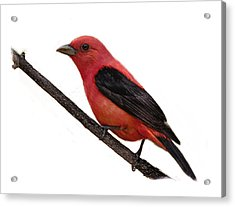 Scarlet Tanager On Branch Acrylic Print