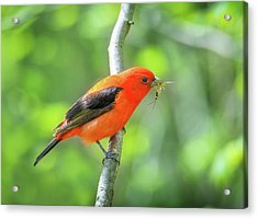Scarlett Tanager And Prey Acrylic Print