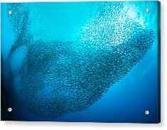 School Of Sardines Acrylic Print by Henry Jager