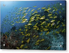 School Of Yellow Snapper, Great Barrier Acrylic Print by Mathieu Meur