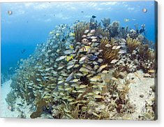 Schools Of Grunts, Snappers, Tangs Acrylic Print by Karen Doody