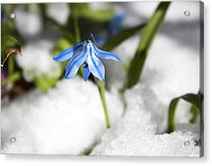 Acrylic Print featuring the photograph Scilla In Snow by Jeff Severson