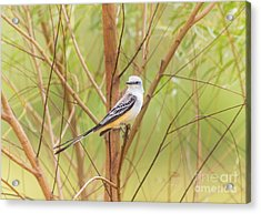 Acrylic Print featuring the photograph Scissortail In Scrub by Robert Frederick