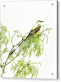 Acrylic Print featuring the photograph Scissortail On Mesquite by Robert Frederick