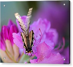 Acrylic Print featuring the photograph Scissorwings by Susan Capuano