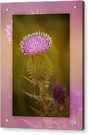 Scotch Thistle Acrylic Print by Holly Kempe