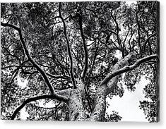 Scots Pine Monochrome Acrylic Print by Tim Gainey