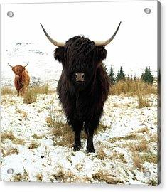 Scottish Black Highland Coo Acrylic Print
