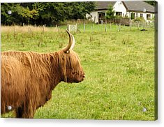 Acrylic Print featuring the photograph Scottish Cattle Farm by Christi Kraft