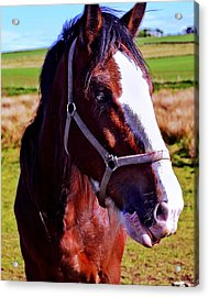 Scottish Clydesdale  Acrylic Print by Roger Wedegis
