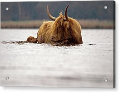 Scottish Highlander With Young To Swim Acrylic Print by Ronald Jansen