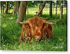 Acrylic Print featuring the photograph Scottish Higland Cow by Patricia Hofmeester
