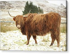 Scottish Red Highland Cow In Winter Acrylic Print