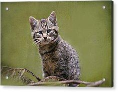 Scottish Wildcat Kitten Acrylic Print