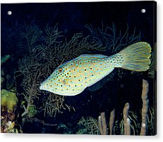 Acrylic Print featuring the photograph Scrawled Filefish by Jean Noren