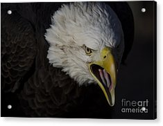 Screaming Eagle Acrylic Print by Andrea Silies