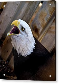 Screaming Eagle Acrylic Print by Harry Strharsky