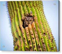 Screech Owl In Saguaro Acrylic Print