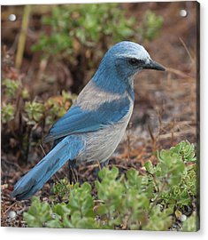 Scrub Jay Framed In Green Acrylic Print