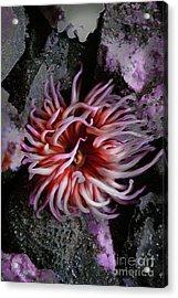 Sea Anemone 2 Acrylic Print