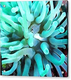Sea Anemone And Squat Shrimp Acrylic Print
