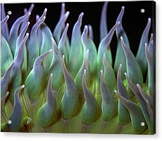 Sea Anemone Acrylic Print by by Frank Chen