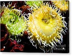Sea Anemony Dance Acrylic Print