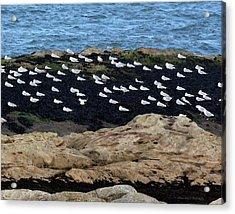 Sea Birds At Rest Acrylic Print