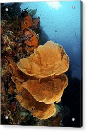 Sea Fan Coral - Indonesia Acrylic Print by Steve Rosenberg - Printscapes