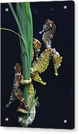 Acrylic Print featuring the photograph Sea Horse by Joan Reese