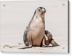 Sea Lion 1 Acrylic Print
