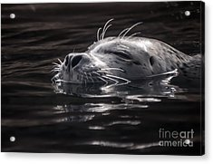 Sea Lion Basking In The Light Acrylic Print