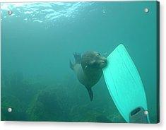 Sea Lion Biting A Diver Flipper Acrylic Print by Sami Sarkis