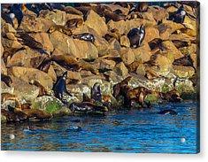 Sea Lion Coloney Acrylic Print by Garry Gay