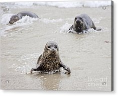 Sea Lion Pup Acrylic Print by Eddie Yerkish