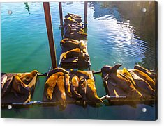 Sea Lions Sunning On Dock Acrylic Print by Garry Gay