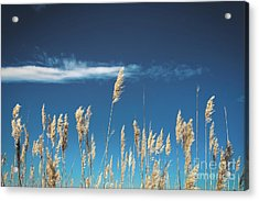 Acrylic Print featuring the photograph Sea Oats On A Blue Day by Colleen Kammerer