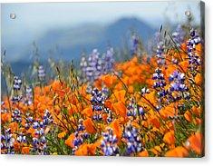 Sea Of California Wildflowers Acrylic Print by Kyle Hanson