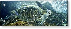 Sea Of Cortez Green Turtle Acrylic Print