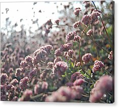 Sea Of Pink Acrylic Print by Jean Booth