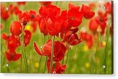 Sea Of Red Buttercups Acrylic Print