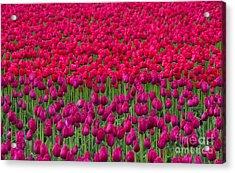 Sea Of Tulips Acrylic Print by Mike  Dawson