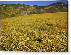 Acrylic Print featuring the photograph Sea Of Yellow Up In The Temblor Range At Carrizo Plain National Monument by Jetson Nguyen