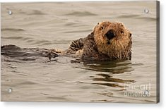 Sea Otter All Cuddled Up Acrylic Print by Max Allen
