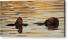 Sea Otter Laying Low In The Water Acrylic Print by Max Allen