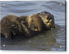 Sea Otter Mother With Pup Monterey Bay Acrylic Print by Suzi Eszterhas