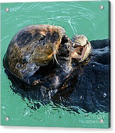 Sea Otter Munching On A Clam Acrylic Print