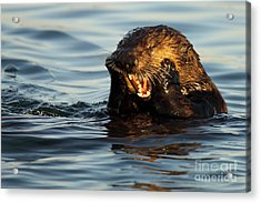 Sea Otter With A Toothache Acrylic Print by Max Allen