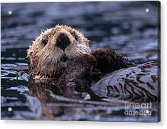 Sea Otter Acrylic Print by Yva Momatiuk and John Eastcott and Photo Researchers